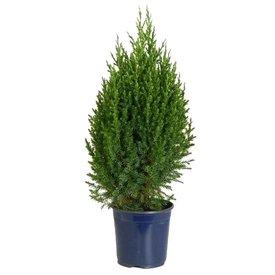 Fleur.nl - Juniperus chinensis 'Stricta'