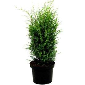 Fleur.nl - Juniperus communis 'Hibernica'