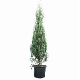 Fleur.nl - Juniperus scopulorum 'Blue Arrow'