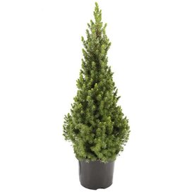 Fleur.nl - Picea glauca 'Conica'