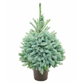 Fleur.nl - Picea pungens 'Glauca'