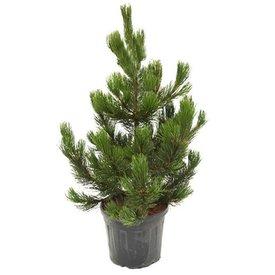 Fleur.nl - Pinus heldreichii 'Satellit'