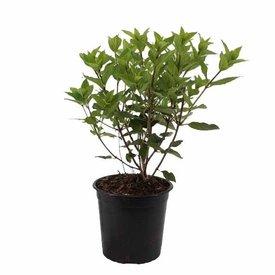 Fleur.nl - Hydrangea paniculata 'Little Lime'