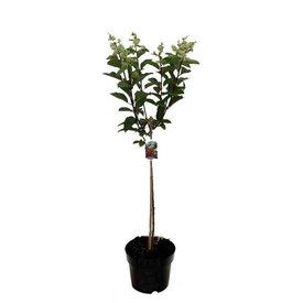 Fleur.nl - Hydrangea paniculata 'Grandiflora' op stam