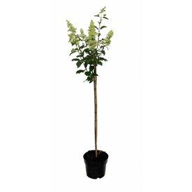 Fleur.nl - Hydrangea paniculata 'Kyushu' op stam