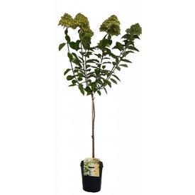 Fleur.nl - Hydrangea paniculata 'Limelight' op stam