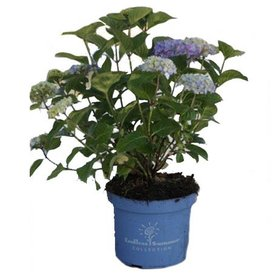 Fleur.nl - Hydrangea macrophylla 'Endless Summer Bloomstar'