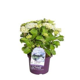 Fleur.nl - Hydrangea macrophylla 'Forever & Ever' (Blauw)