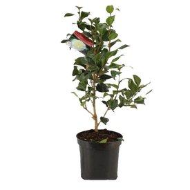 Fleur.nl - Camellia japonica 'Alba Plena'