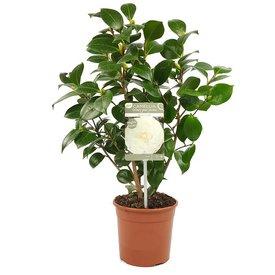 Fleur.nl - Camellia japonica 'Nuccio's Gem'
