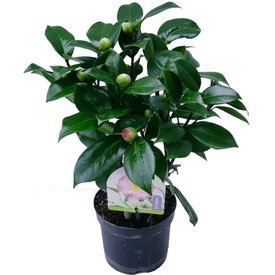 Fleur.nl - Camellia japonica 'Nuccio's Jewel'