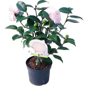 Fleur.nl - Camellia japonica 'Nuccio's Pearl'