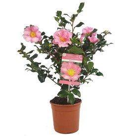 Fleur.nl - Camellia sasanqua 'Cleopatra'