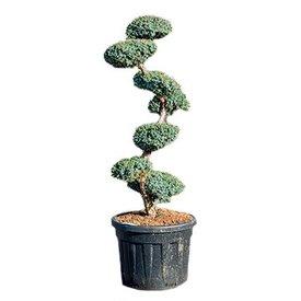 Fleur.nl - Juniperus chinensis 'Blue Alps' Bonsai 190 cm