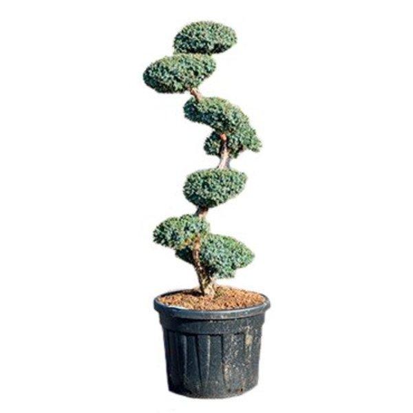 Juniperus chinensis 'Blue Alps' Bonsai 190 cm
