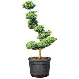 Fleur.nl - Juniperus chinensis 'Blue Alps' Bonsai 225 cm