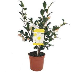 Fleur.nl - Camellia sasanqua 'Hino de Gumo'