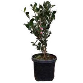 Fleur.nl - Camellia sasanqua 'Jennifer Susan'