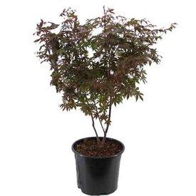 Fleur.nl - Acer palmatum 'Atropurpureum'