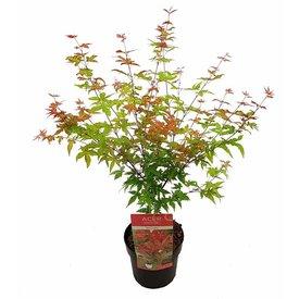 Fleur.nl - Acer palmatum 'Beni-maiko'
