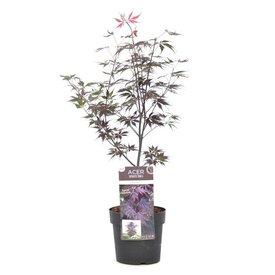 Fleur.nl - Acer palmatum 'Black Lace'
