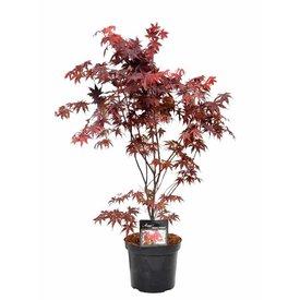Fleur.nl - Acer palmatum 'Bloodgood'