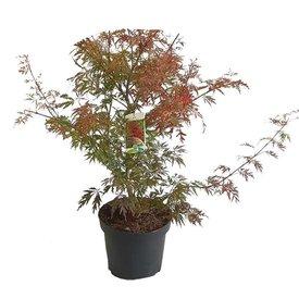 Fleur.nl - Acer palmatum 'Garnet'