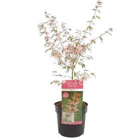 Fleur.nl - Acer palmatum 'Marlo'