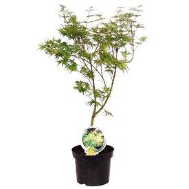 Fleur.nl - Acer palmatum 'Seiryu'