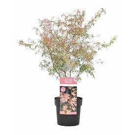 Fleur.nl - Acer palmatum 'Taylor'