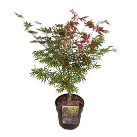 Fleur.nl - Acer palmatum 'Trompenburg'