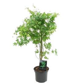 Fleur.nl - Acer palmatum