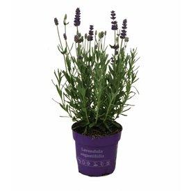Fleur.nl - Lavandula angustifolia 'Hidcote'