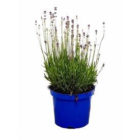 Fleur.nl - Lavandula angustifolia 'Munstead'