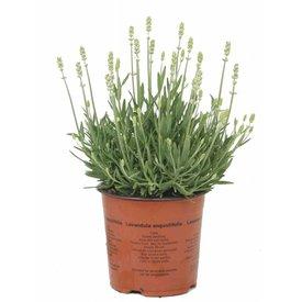 Fleur.nl - Lavandula angustifolia 'Alba'