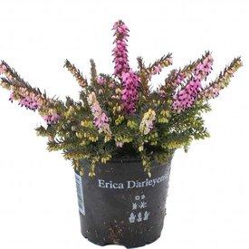 Fleur.nl - Erica darleyensis 'Kramers Rote'