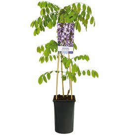 Fleur.nl - Wisteria sinensis 'Prolific' Blauwe regen