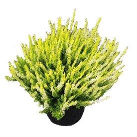Fleur.nl - Calluna vulgaris 'Beauty Ladies Anouk'