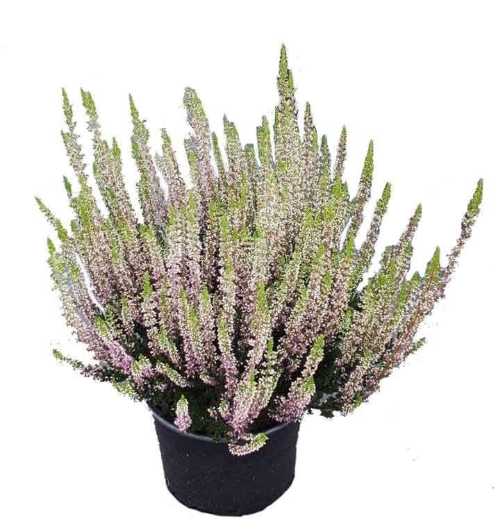 Super Calluna vulgaris 'Beauty Ladies Laurentine' kopen?   Fleur.nl &MY_16