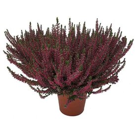 Fleur.nl - Calluna vulgaris 'Beauty Ladies Selly'