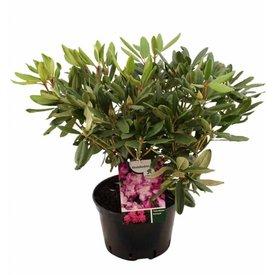 Fleur.nl - Rhododendron 'Catawbiense Boursault'