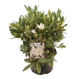 Fleur.nl - Rhododendron 'Cunningham's White'
