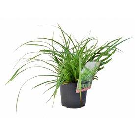 Fleur.nl - Carex morrowii 'Variegata'