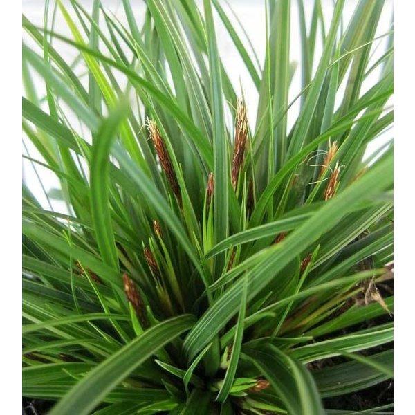 Carex morrowii 'Variegata' (Japanse zegge)