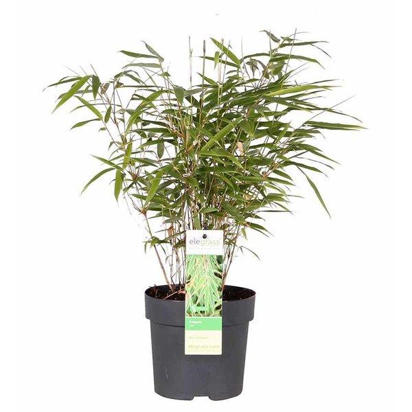 Fargesia 'Rufa' Bamboe