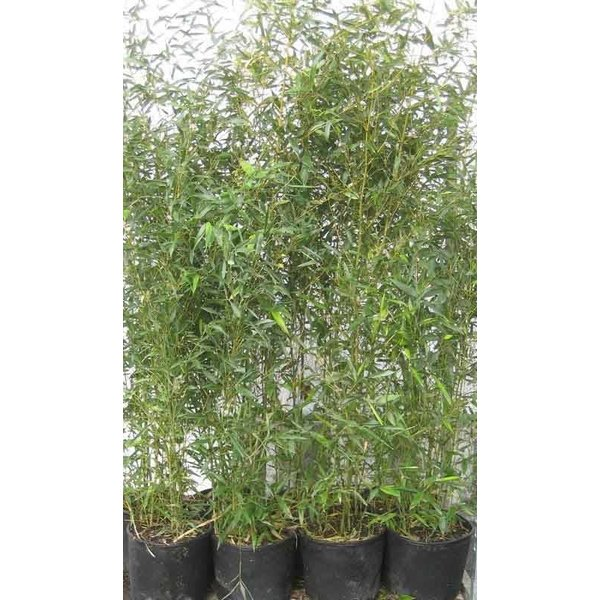 Phyllostachys bissetii Haagbamboe