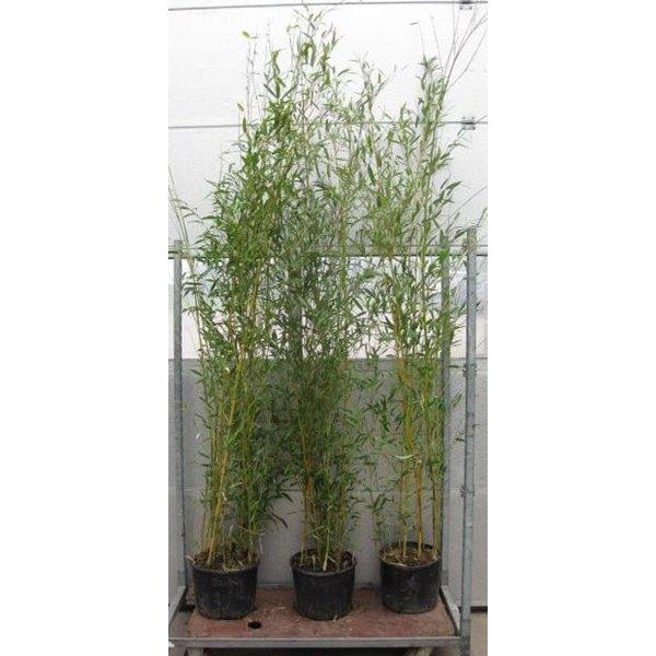 Phyllostachys aureosulcata 'Aureocaulis' bamboe