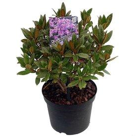 Fleur.nl - Rhododendron 'Lavendula'