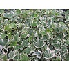 Hedera helix 'White Ripple'