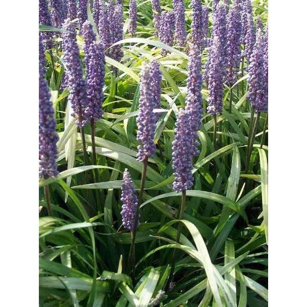 Liriope muscari 'Lilac Wonder'